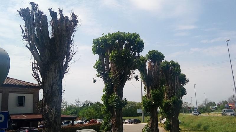 alberi mozzati