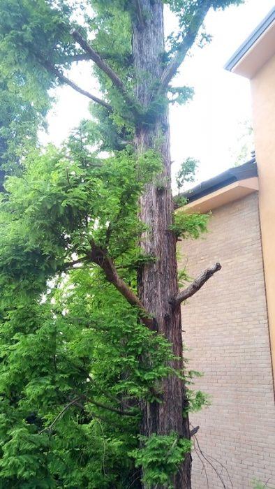 alberi sfregiati